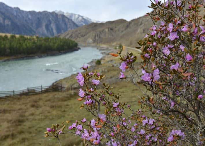 Цветение сирени 17 октября на Алтае